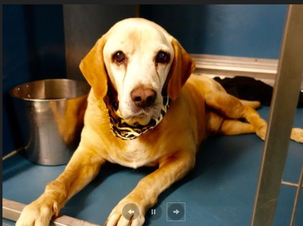 "10/8/16 A homeless senior dog, dubbed ""Bruce,"" is doing his utmost to survive life inside of a busy animal control facility in Manhattan, New York. Unfortunately, this handsome senior dog has poor muscle tone and arthritis and the slippery animal control floors make it difficult for him to get up and around on his own. Bruce, …"