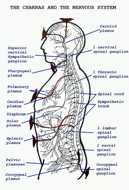 The Chakras and the Nervous System