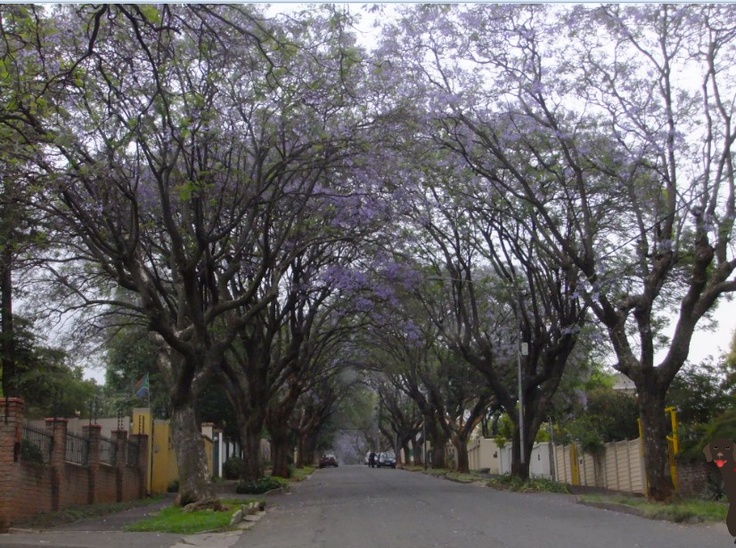 Jacaranda time in Kensington. Photo: Errol Collen.