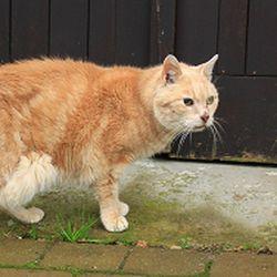 """La peau du chat est peu visible en raison de son pelage, qui au fur et à mesure de la sélection naturelle et des mutations, spontanées ou voulues par l'homme, est d'une variété extraordinaire. A contrario, toutes les """"peaux de ..."""