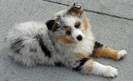 Dogs - My Aussies and other Great herding dogs / Arlo the Australian Shepherd Pictures 488518