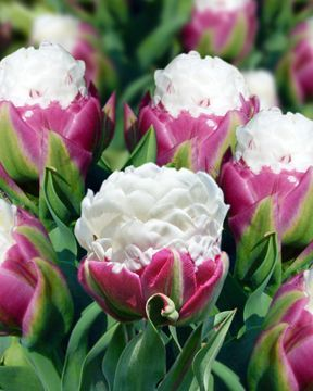Tulipa Double Late 'Ice Cream' ~  looks good enough to eat!   :)  Show stopper...