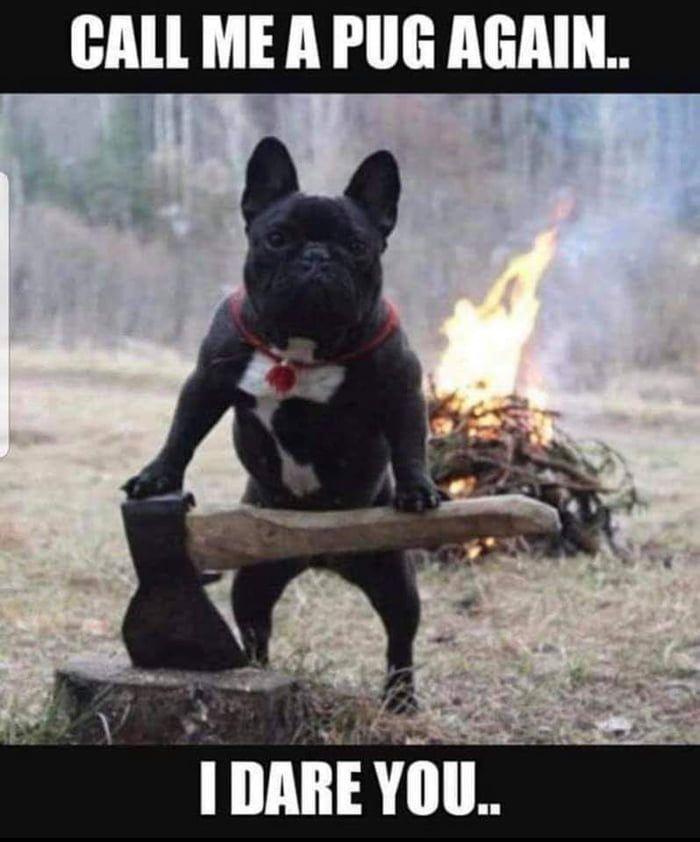 Angry Frenchie French Bulldog Cute French Bulldog Bulldog Puppies