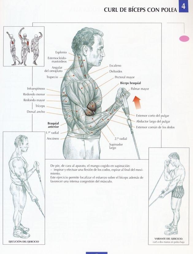 4 biceps