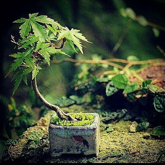 Bonsai 🍁 Japanese Maple 🍁  #piante #natura #verde #fiori #campagna #estate #nature #giardinaggio #plants #garden #primavera #green #autunno #pic #flowers #picoftheday #pianta #aria #didattici #bambini #divertimento #festa #agricompleanni #picoftheday #laboratori #planet #plant