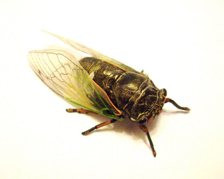 a look at the mysterious insect the cicada They search for cracks and burrow down between 10cm and 40cm using   bugbios looks at the importance of the cicada (and other insects) in.