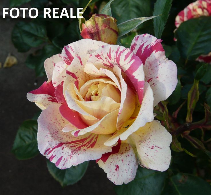 22 best Il profumo delle Rose images by AMDGarden on Pinterest