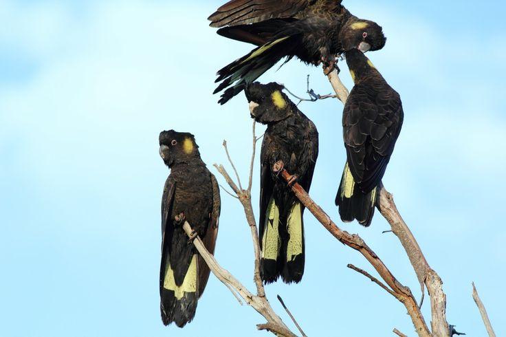 black cockatoo yellow - Google Search