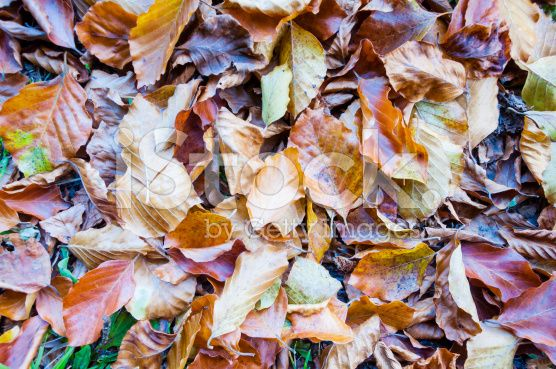 Colorful Leaves (Fagus sylvatica) - Wallpaper royalty-free stock photo