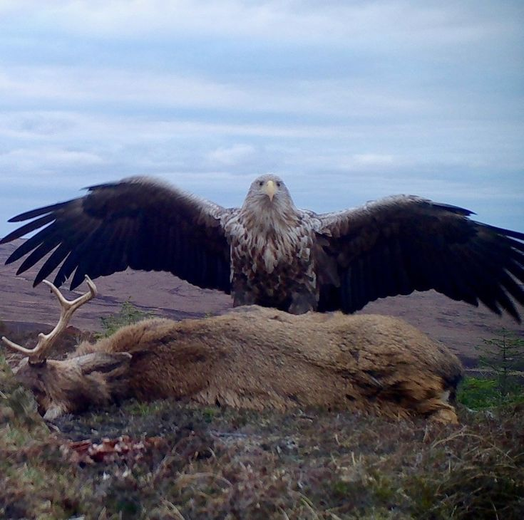 This massive white-tailed eagle spotted in Scotland   fun funny funny pics