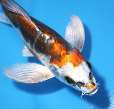 17 best images about koi fish on pinterest japanese koi for Silver koi fish