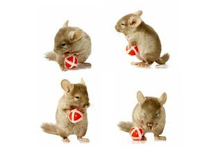 How to Make Chinchilla Toys | eHow