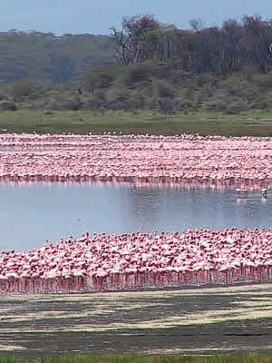 Lake Nakuru National park,The lake is world famous as the location of the greatest bird spectacle on earth - myriads of fuchsia pink flamingos whose numbers are legion, often more than a million - or even two million. They feed on the abundant algae,Flamingos.