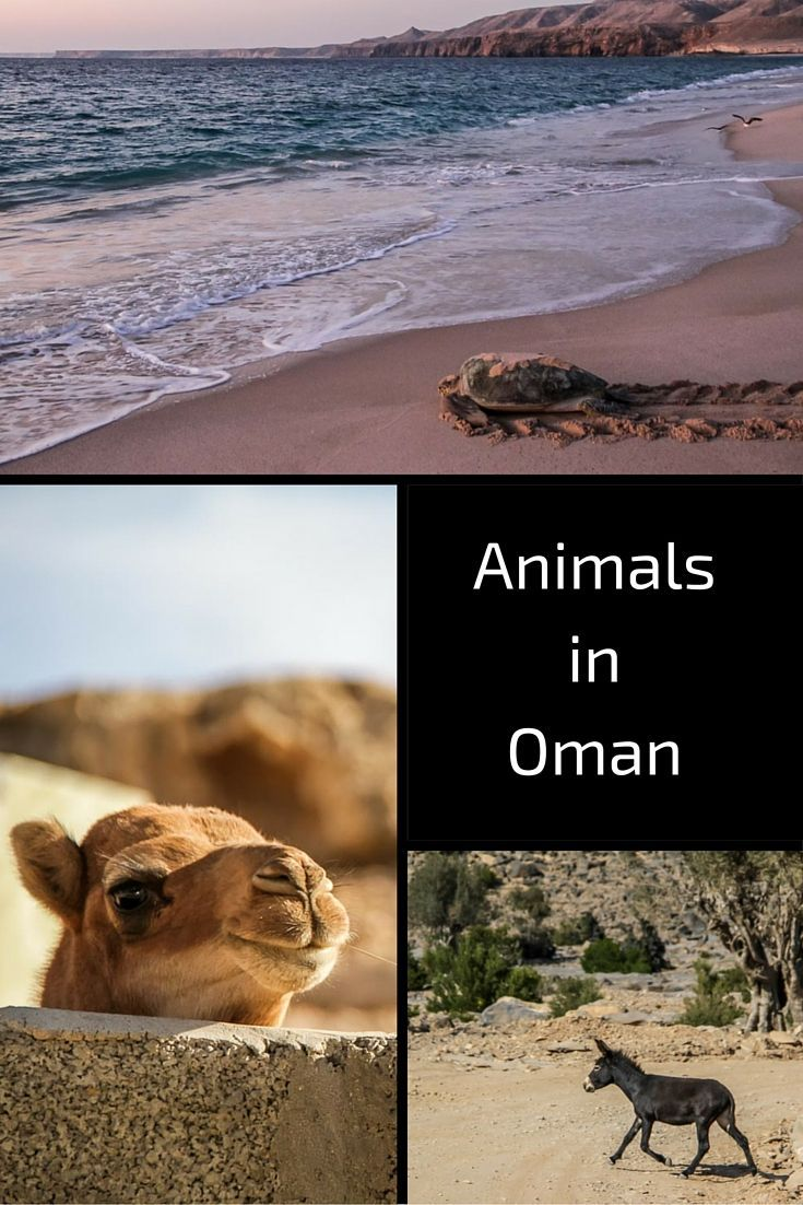 Discover the wildldife and farm animals fo the Sultanate of Oman - many pictures in the post! www.zigzagonearth...