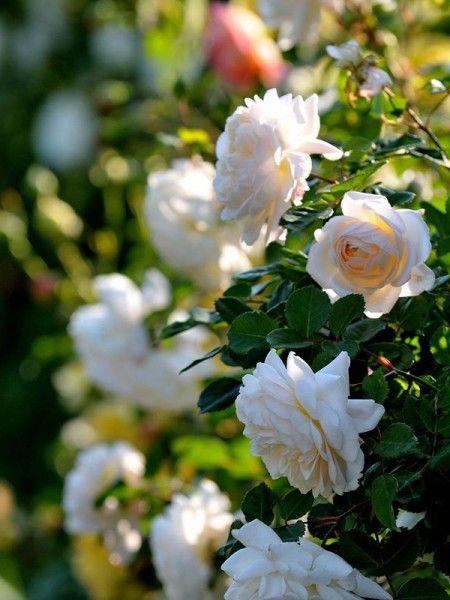 Rosier anglais 'Crocus Rose' - Rosa anglais - Le Jardin du Pic Vert
