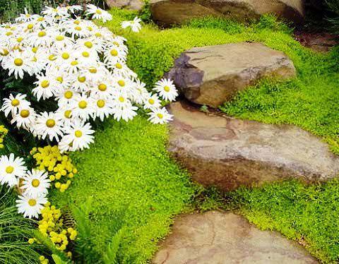 Мшанка ирландский мох фото