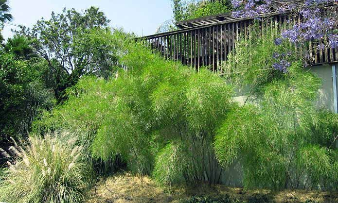 "Otatea acuminata ssp. Aztecorum (""Mexican Weeping Bamboo"")"