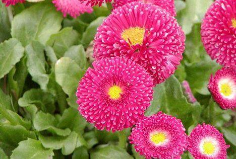 Sedmikráska: znáte i tuhle?  I když sedmikrásky mají mnozí spojené s drobnými bílými květy na louce, existuje i speciální typ určený k pěstování v nádobách a truhlících – sedmikráska ponponková. Jde o dvouletku, která dorůstá do výšky jen kolem 15 centimetrů a potřebuje slunečné místo. Na výběr máte bílou, růžovou a červenou barvu.