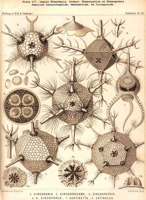 Ernst Haeckel Radiolarians