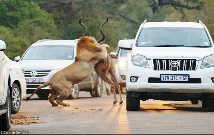 A britânica Carolyn Dunford, de 23 anos, capturou em fotos o momento em que dois leões caçaram e mataram um antílope em uma estrada de um parque na África do Sul. As informações são do Daily Mail.