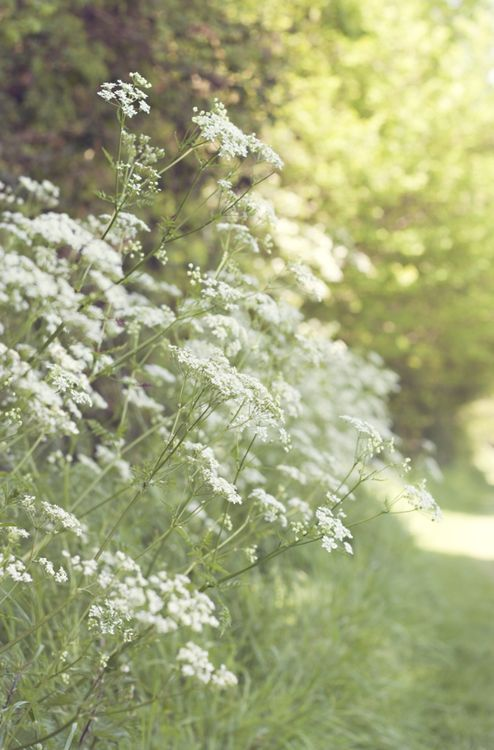 Queen Anne's Lace or Cow Parsley would be lovely to put along the pear-wall beside the driveway.