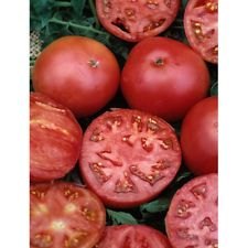 Grow your own Better Boy tomato plant-- Two (2) live plants 5-inch to 7-inch tall in 3.5-inch pots. The Better Boy tomato plant is a derivative hybrid from the Big Boy and the Lemon Boy tomato. Though both of its parent plants are well known, the Better Boy tomato has made its own name in the tomato world, thanks to its good size, great flavor, huge plant yields and its great disease resistance to bacterial infections, fungi and parasites.