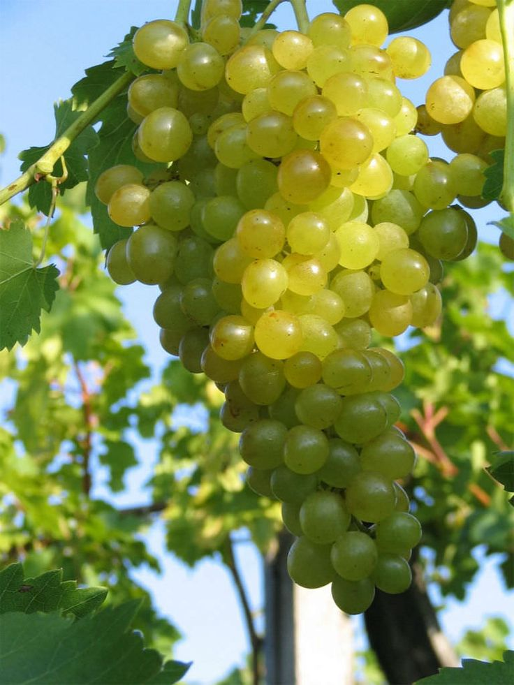 Vitis vinifera (Common Grape Vine) is a liana growing up to 35 yards (32 m) in length, with flaky bark. The leaves are alternate...