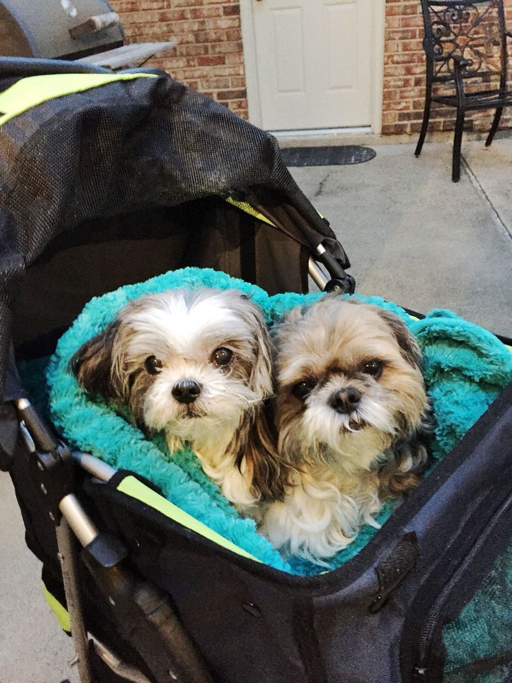 Shih Tzus out for a stroll Shih tzu dog, Shih tzu, Cute dogs