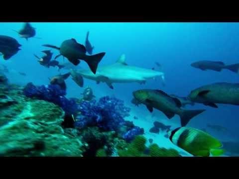 Grey Reef Sharks, Fiji - YouTube