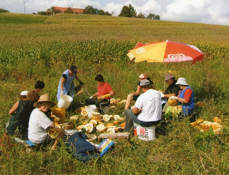 Family and friends come together every year to harvest the pumpkins, split and de-seed them all by hand in an environment of fun and camaraderie; as has been done for many years.  #styrian #pumpkin #harvest #family #friends