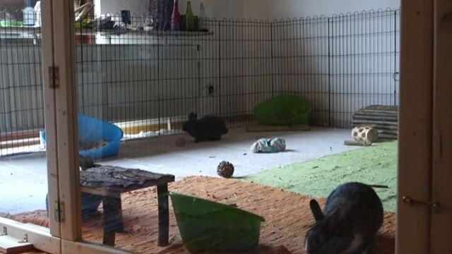 #ahutchisnotenough A rabbit confined to a hutch or a tiny indoor cage couldn't possibly binky, which is a natural behaviour  Go Mogli!  Owned by Foinz https://www.facebook.com/foinz/?fref=nf