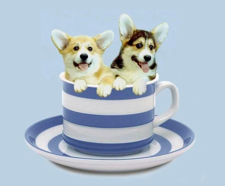 teacup corgi size