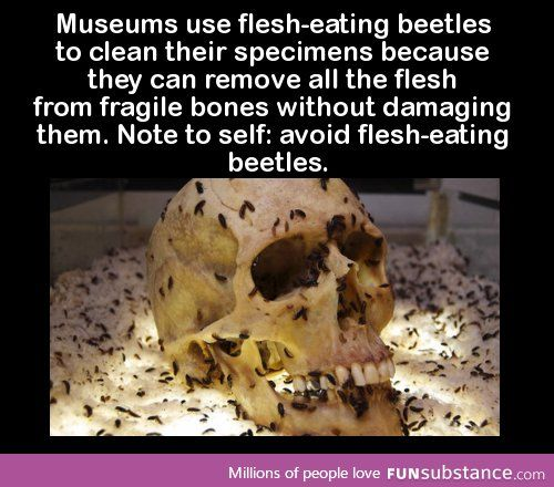 Museums use flesh-eating beetles to clean their specimens