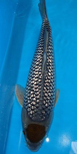 Unknown variety - beautiful fish                                                                                                                                                                                 More