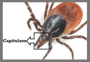 Tick removal myths busted