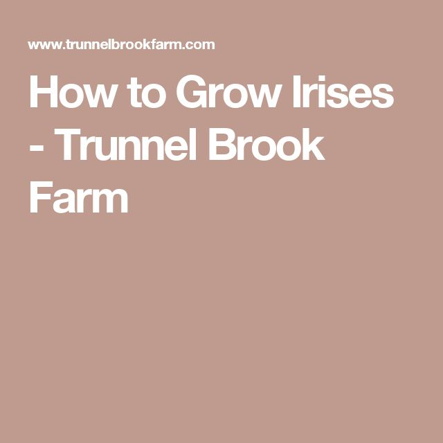 How to Grow Irises - Trunnel Brook Farm