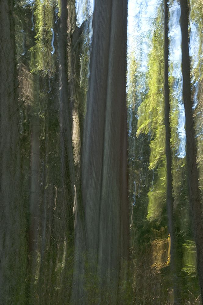 "KIMBERLEY FRENCH: giant still standing, Stanley Park, 2014 Photograph on Wood with Resin,  Original 45˝ × 30˝ AP 21.5"" x 14.75"""