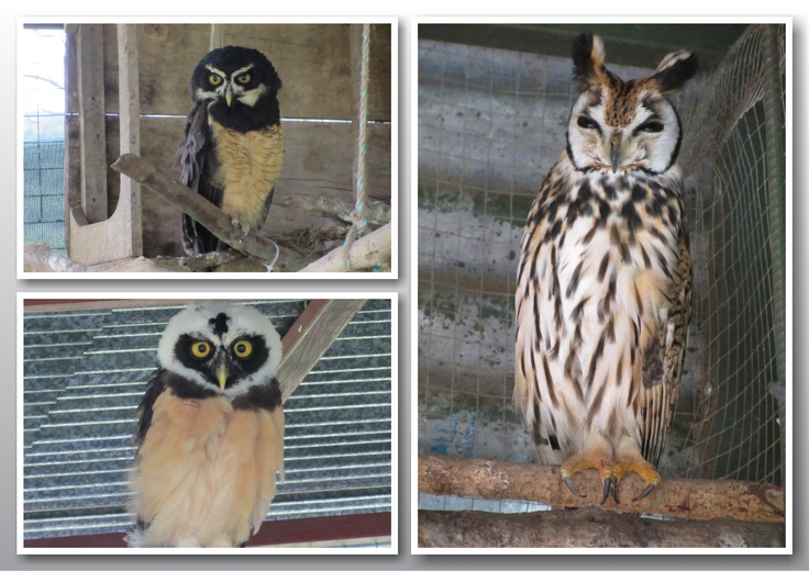 Owls at Toucan Rescue Ranch in Costa Rica
