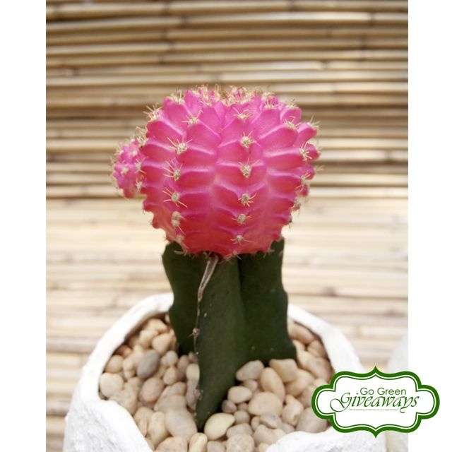 Moon Cactus , Grafted Cactus Wedding Souvenirs, Baptismal Favors, Corporate Giveaways - Philippines