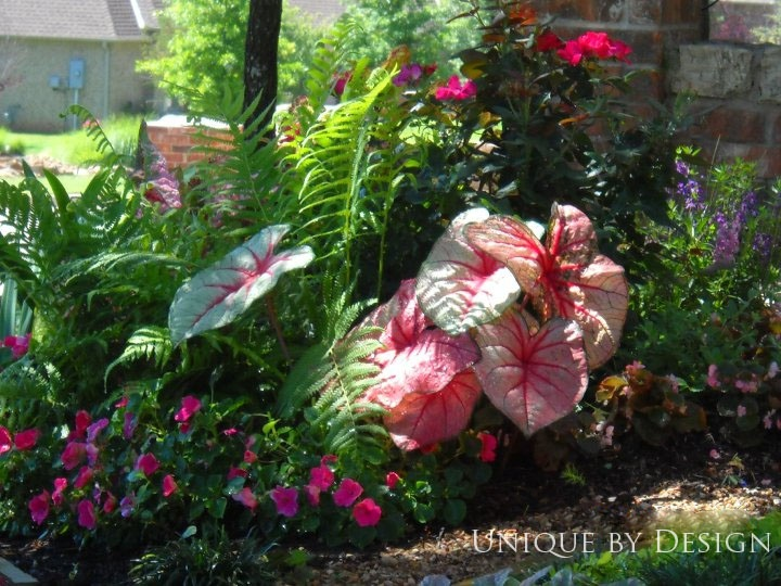 Made in the shade combo of caladium impatient and ostrich fern combined pinterest the o - Flower and lawn landscaping ideas ...