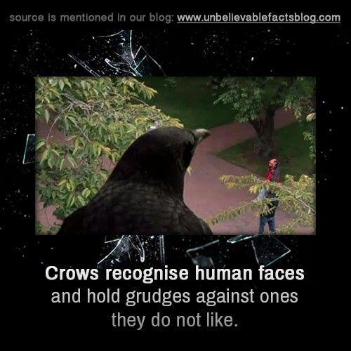 Nice crow fact