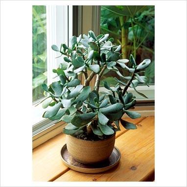 Jade plant on window ledge