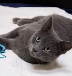 Gunner: Russian Blue, Cat; Chicago, IL