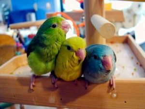 Parrotlets may look like little green parakeets, but they are not priced like parakeets, nor do they share the same temperament. At 5 inches...  #animalhealth