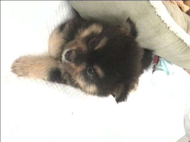 Litter of 5 Pomeranian puppies for sale in JESUP, GA. ADN-44132 on PuppyFinder.com Gender: Female. Age: 5 Weeks Old
