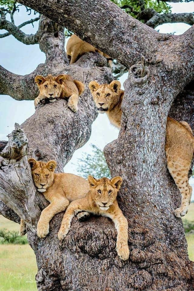 Just a family of lions hanging out in the tree