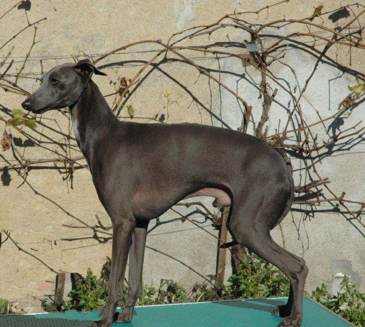 Elevage du domaine de Chanteloup - eleveur de chiens Petit Lévrier Italien