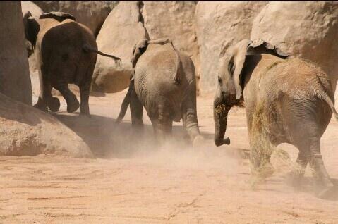 Animals. Elephants. Wild. Running.