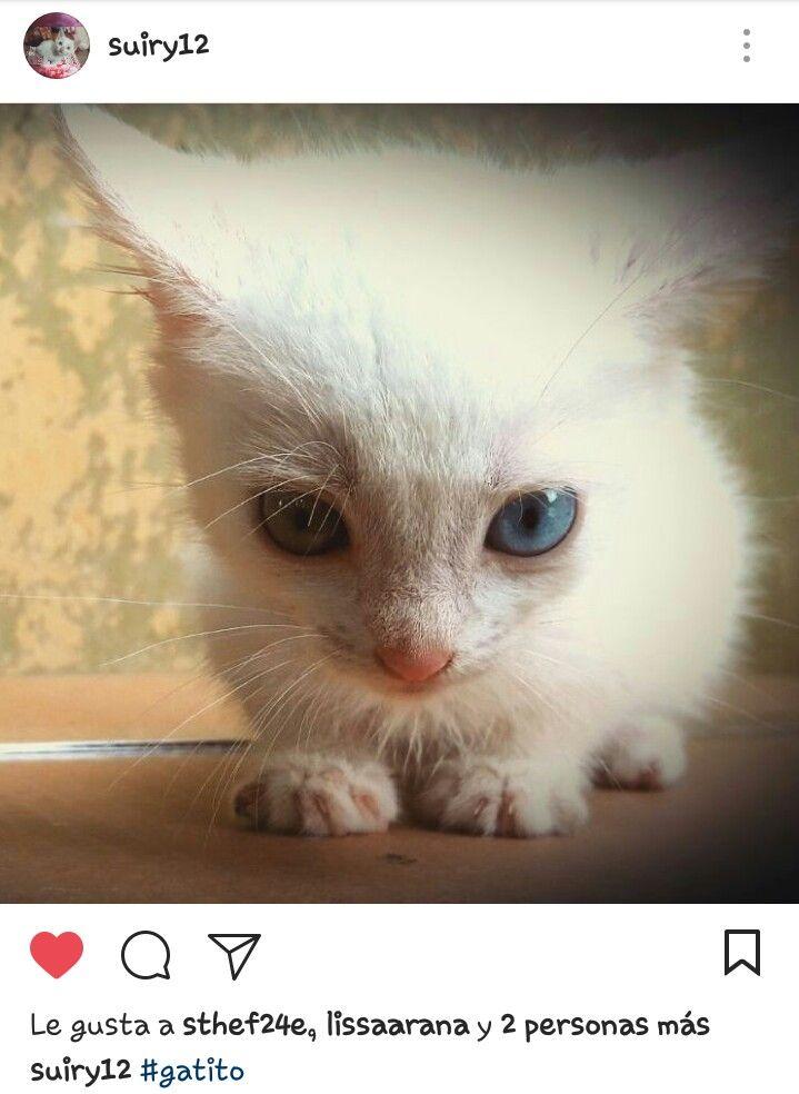 Esta gatita se llama Sweetie. He podido tomarle fotos. Pueden seguir sus fotos en Instagram: https://www.instagram.com/suiry12. #gatos #cats# whitecats #mascotas #fotosanimales . Foto: Arturo Mora.