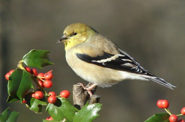 Goldfinch on Holly
